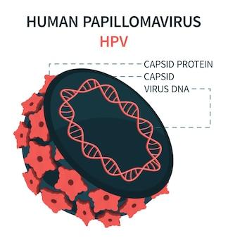 Struktura wewnętrzna wirusa brodawczaka ludzkiego hpv