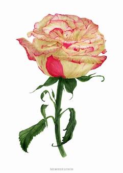 Świeża dwukolorowa kremowa róża koralowa, realistyczna ilustracja botaniczna w kolorze watrecolor
