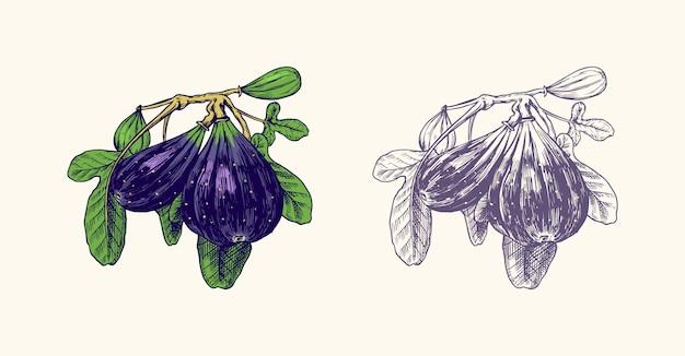 Świeża figa. liście owocowe.