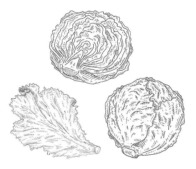 Świeża połówka i cała kapusta głowiasta oraz sałata liściasta. ilustracja kolor rocznika kreskowania.