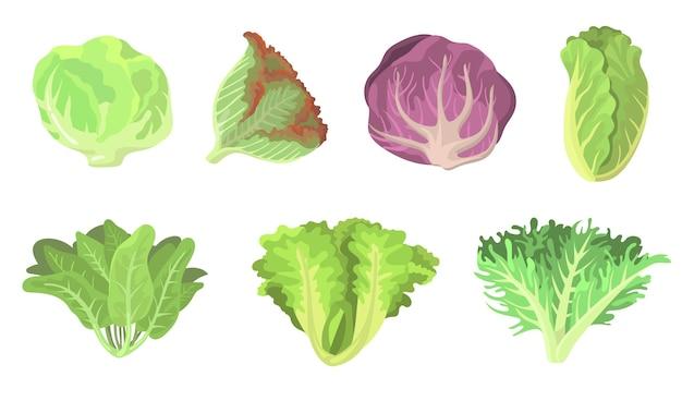 Świeża sałatka pozostawia płaski zestaw ilustracji. kreskówka radicchio, sałata, rzymska, jarmuż, kapusta włoska, szczaw, szpinak, czerwona kapusta na białym tle kolekcja ilustracji wektorowych. wegetariańska koncepcja żywności i roślin