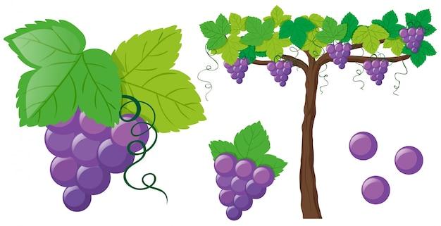 Świeże winogrona na winorośli
