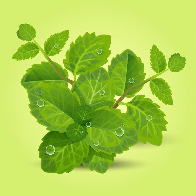 Świeże zielone liście mięty