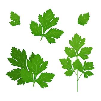 Świeże zielone liście pietruszki na białym tle. pietruszka na białym tle. ilustracja.