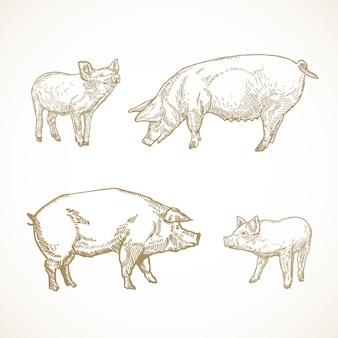 Świnia, wieprz i świnki ręcznie rysowane ilustracje zestaw. zestaw szkiców zwierząt domowych.