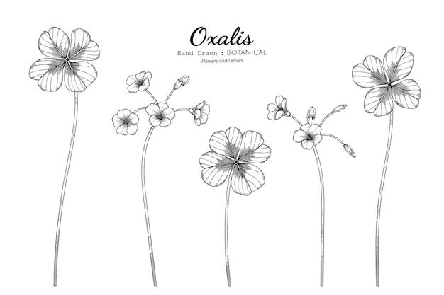 Szczawik kwiat i liść ręcznie rysowane ilustracja botaniczna z grafiką.
