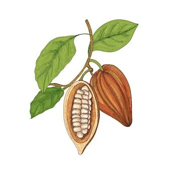 Szczegółowy rysunek botaniczny całych i pokrojonych dojrzałych strąków lub owoców kakaowca z izolowanymi fasolami, gałęziami i liśćmi