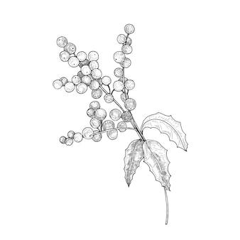 Szczegółowy rysunek botaniczny gałęzi ostrokrzewu z jagodami i liśćmi.