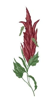 Szczegółowy rysunek botaniczny kwitnącej rośliny amarantusa
