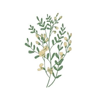 Szczegółowy rysunek botaniczny salsuli sphaerophysa lub swainsonpei alkalicznej