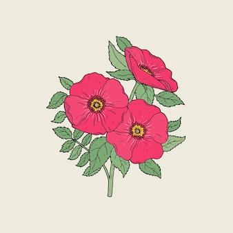 Szczegółowy rysunek pięknych róż dla psów rosnących na łodydze z liśćmi