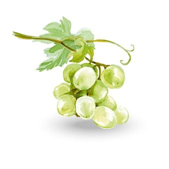 Szkic akwarela kiście winogron. ilustracja wektorowa.
