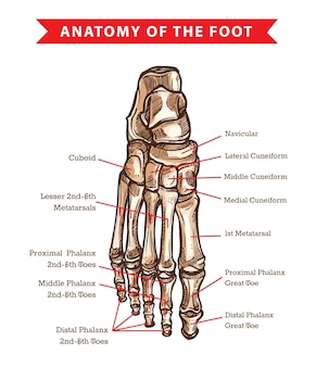 Szkic anatomii kości ludzkiej stopy medycyny ortopedycznej. szkielet stawu skokowego nóg i paliczków palców, prostopadłościanu, kości śródstopia, łódkowatej i klinowatej, ręcznie rysowany widok grzbietowy stopy
