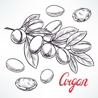 Szkic arganowy gałąź drzewa z owocami. ręcznie rysowane ilustracji