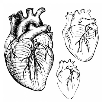 Szkic atrament ludzkiego serca. grawerowane anatomiczne serce ilustracja
