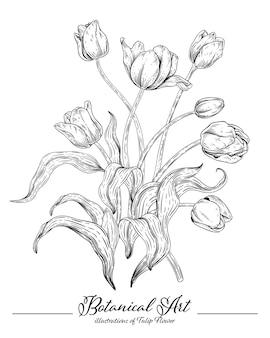 Szkic kolekcji kwiatowej botaniki, rysunki kwiatów tulipana.