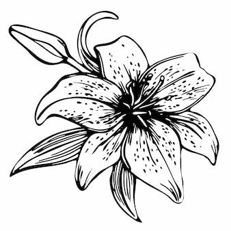 Szkic kwiatowy kwitnących lilii.