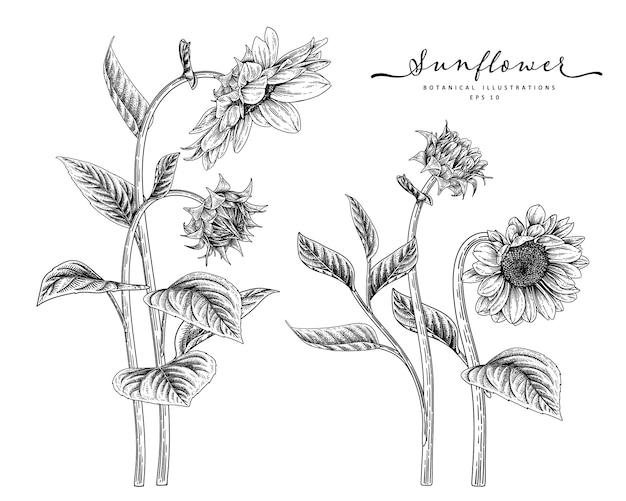Szkic kwiatowy zestaw dekoracyjny. rysunki słonecznika. czarno-białe z grafiką na białym tle. ręcznie rysowane ilustracje botaniczne.