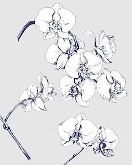 Szkic kwitnących storczyków. element projektu. ilustracja wektorowa