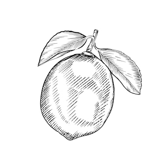 Szkic limonki izolowany na białym tle. ręcznie rysowane grawerowane ilustracja. styl retro.