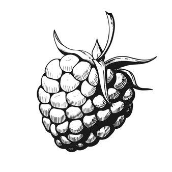 Szkic maliny na białym tle, ilustracji wektorowych