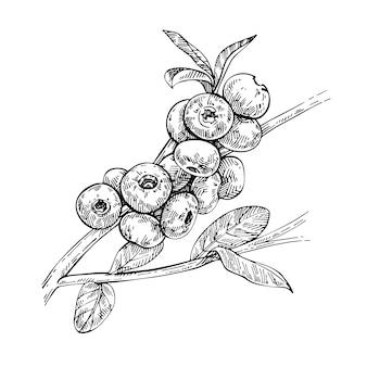 Szkic na białym tle jagoda gałąź. jagody i liście. leśna jagoda. eko żywność