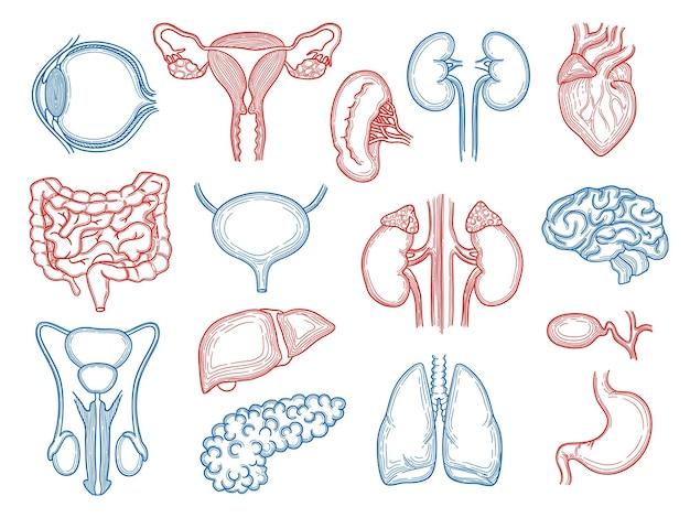 Szkic narządów. anatomia medyczna części ludzkiego ciała zestaw wątroba serca nerki mózg żołądek.