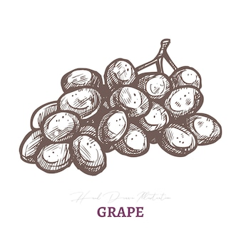 Szkic wektor brunch z winogron z winem. świeże, soczyste, dojrzałe owoce jagodowe.