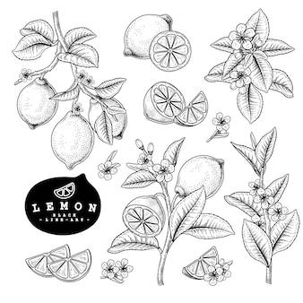 Szkic wektor zestaw dekoracyjny owoców cytrusowych. cytrynowy. ręcznie rysowane ilustracje botaniczne.