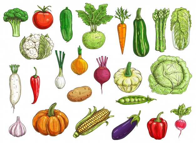 Szkice warzyw rolniczych