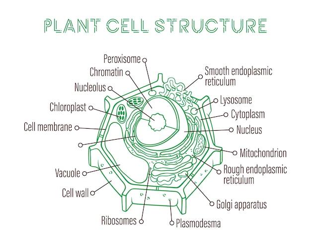 Szkicowanie ilustracji wektorowych. schematyczna struktura komórki roślinnej.