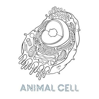 Szkicowanie ilustracji wektorowych. schematyczna struktura komórki zwierzęcej.