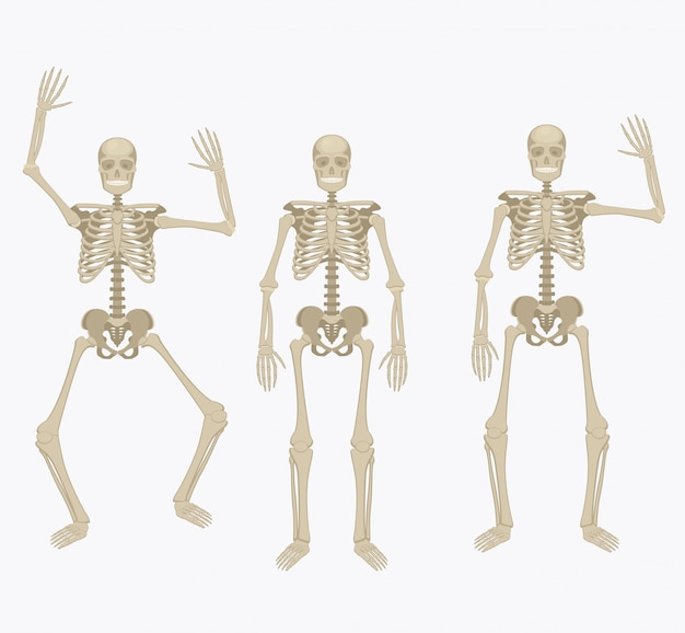 Szkielet człowieka.