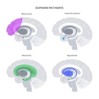 Szlak dopaminy w ludzkim mózgu. neuroprzekaźnik monoaminowy. ilustracja wektorowa sterowania silnikiem