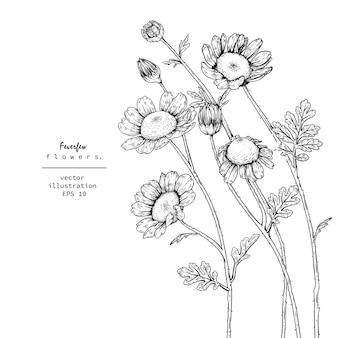 Tanacetum feverfew kwiatowe rysunki.