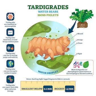 Tardigrades woda niedźwiedzie ilustracyjni
