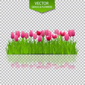 Tle kwiatów z tulipanami na przezroczystym tle. ilustracja.
