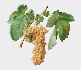 Trebbiano winogrona od Pomona Italiana ilustraci
