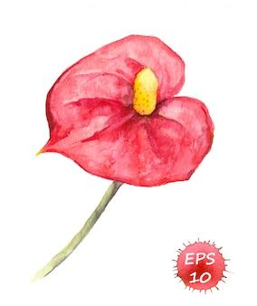 Tropikalny kwiat - anthurium. akwarela