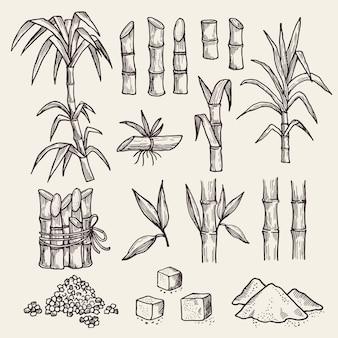 Trzcina cukrowa. świeży cukier żniwa rolnictwa plantacji ręcznie rysowane rośliny