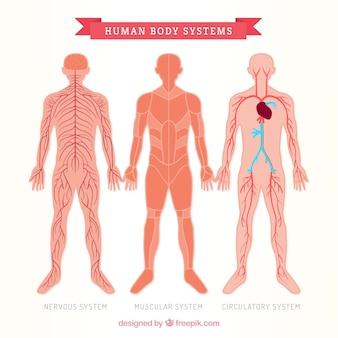 Trzy ludzkie ciało sistems