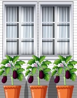 Trzy rośliny oberżyny w doniczkach na tle okna