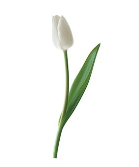 Tulipan biały na białym tle