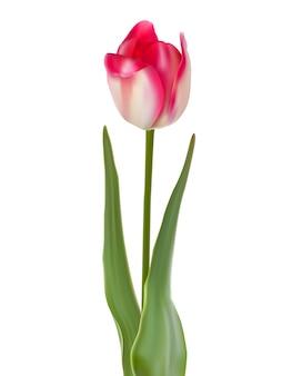 Tulipan kwiat na białym tle