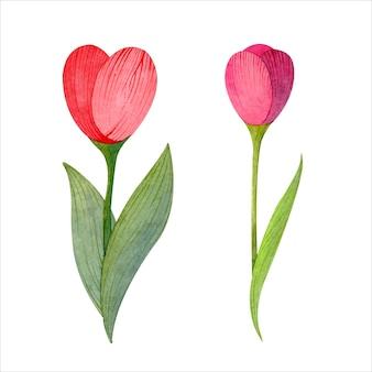 Tulipany akwarelowe