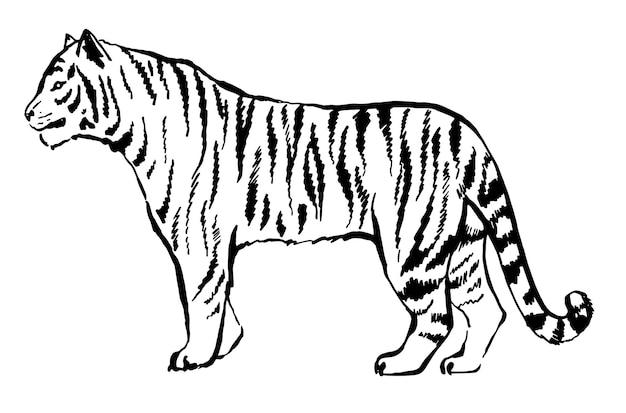 Tygrys narysowany tuszem z rąk drapieżnika tatuaż logo tygrys idzie zagrożone zwierzę