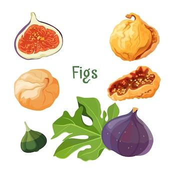 Typy fig suszonych i świeżych roślin plakat z tytułem nagłówka. mięsiste owoce z dużą ilością nasion w środku. etapy uprawy produktu z drzewa tropikalnego na białym tle