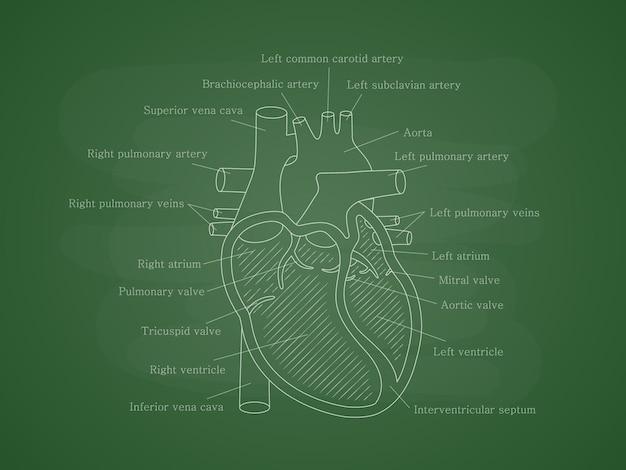 Układ krążenia człowieka z opisami na tablicy szkolnej schemat edukacyjny z przekrojem serca