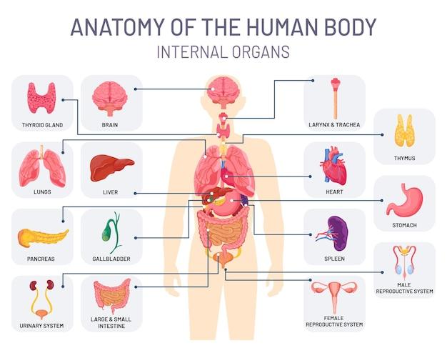 Układ narządów ludzkich. anatomia ciała medycznego, fizjologia wewnętrzna człowieka. układ oddechowy, rozrodczy i trawienny wektor infographic. anatomia człowieka wykres, ilustracja układu narządów wewnętrznych medycyny
