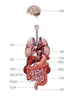 Układ narządów wewnętrznych człowieka, serce, wątroba, nerka, serce